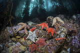 Colorful Starfish Cover the Bottom of a Giant Kelp Forest