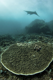 A Manta Ray Swimming Through a Current-Swept Channel in Indonesia