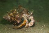 Anemone Hermit Crab Running across Sand in Green Light