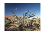 Canyonlands Petrified Tree