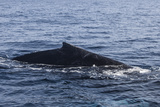 A Humpback Whale Surfaces to Breathe in the Caribbean Sea
