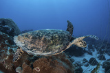 A Hawksbill Sea Turtle Swims over a Coral Reef in Palau