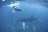 A Humpback Whale and Her Calf in the Caribbean Sea
