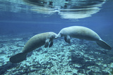 A Pair of Manatees Appear to Be Greeting Each Other  Fanning Springs  Florida