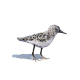 Sandpiper on White I