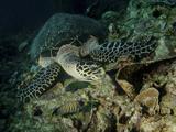 Hawksbill Sea Turtle Feeding  Bunaken Marine Park  Indonesia