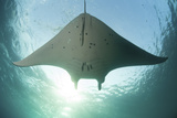 A Manta Ray Swims into the Sun in the Tropical Pacific Ocean