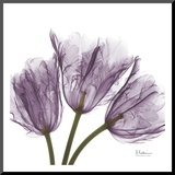 Tulips Purple Trio