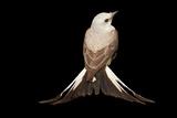 A Female Scissor Tailed Flycatcher  Tyrannus Forficatus