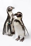 Humboldt Penguins  Spheniscus Humboldti  at Great Plains Zoo
