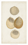 Antiquarian Shell Study II