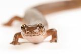 Northern Spring Salamander  Gyrinophilus Porphyriticus