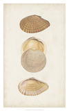 Antiquarian Shell Study I