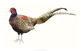 Watercolor Pheasant II