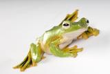 Wallace's Flying Frog  Rhacophorus Nigropalmatus