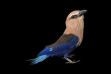 A Blue-Bellied Roller  Coracias Cyanogaster  from the Gladys Porter Zoo