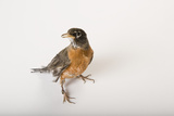 An American Robin  Turdus Migratorius  at the Wildlife Center