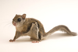 A Three Month Old Male Northern Flying Squirrel  Glaucomys Sabrinus  at Wildlife Images