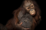 An Endangered Baby Bornean Orangutan  with Her Adoptive Mother  a Bornean/Sumatran Cross