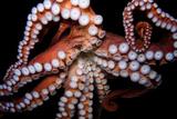 An Octopus  Octopoda  at the Dallas World Aquarium