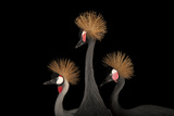 A Grey Crowned Crane with a Pair of Vulnerable West African Black-Crowned Cranes