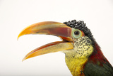 A Curl Crested Aracari  Pteroglossus Beauharnaesii  at the Dallas World Aquarium