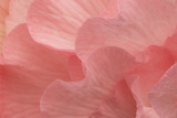 Rosy Begonia II