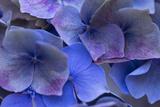 Hydrangea Blues III