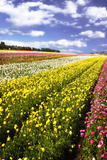 Field of Flowers I