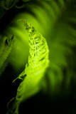 Fern Leaves III