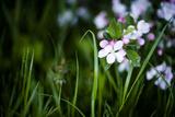 Crabapple Blossoms I