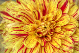 Red Striped Dahlia