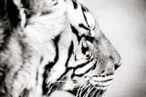 Tigre Papier Photo par Beth Wold
