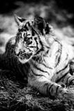 Tiger Cub III
