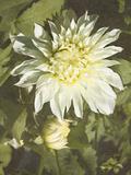 Garden Dahlias VII