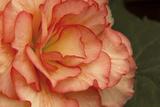 Festive Begonia I