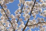 Cherries in Bloom I