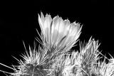 Hedgehog Cactus Flower BW