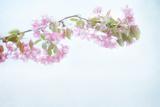 Sakura Pastel