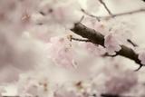 Flowering Cherry I