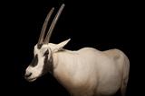 An Arabian Oryx  Oryx Leucoryx