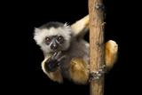 A Critically Endangered Diademed Sifaka  Propithecus Diadema  at Lemur Island