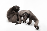 A Pair of Endangered Muller's Grey Gibbons  Hylobates Muelleri  at the Miller Park Zoo