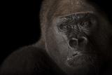A Critically Endangered Male Western Lowland Gorilla  Gorilla Gorilla