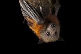 A Vulnerable Grey-Headed Flying Fox  Pteropus Poliocephalus
