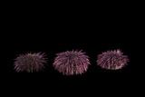 Purple Sea Urchins  Strongylocentrotus Purpuratus