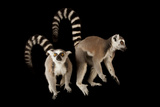 A Pair of Ring-Tailed Lemurs  Lemur Catta  at the Lincoln Children's Zoo
