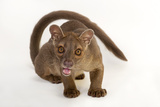 A 1-Year-Old Fossa  Cryptoprocta Ferox  at Omaha's Henry Doorly Zoo and Aquarium