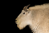 A Male Mountain Goat  Oreamnos Americanus  at the Cheyenne Mountain Zoo