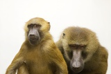A Pair of Guinea Baboons  Papio Papio  at the Indianapolis Zoo